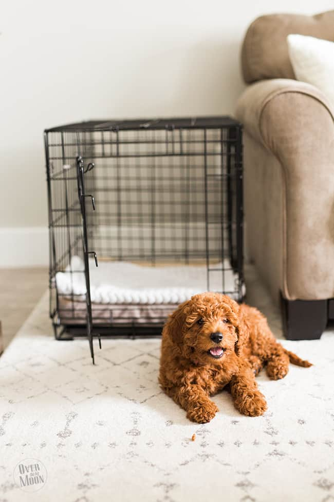 Puppy Essentials to help train and make the puppy transition into your home pleasant!! Plus, pictures of the cutest Goldendoodle EVER! From www.overthebigmoon.com!