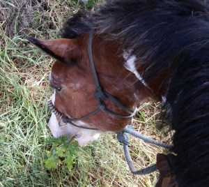 Horse eating weed