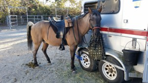 Horse standing by horse trailer and defecating