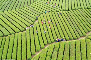 Wujiatai tea plantation in the Hubei Province in China ©Xinhua-Rex-Shutterstock