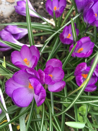 Crocuses of Cambridge