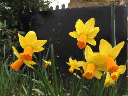 The Crazy daffodils of Cambridge