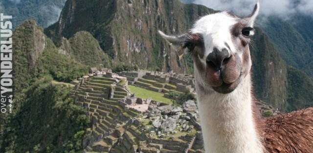 Bossy the llama