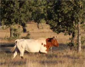 vaca blanca y marrón