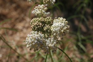 Milkweed in July