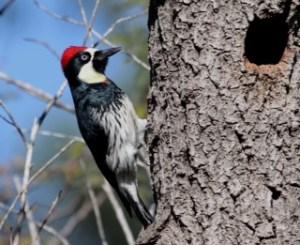Acorn Woodpecker 10 (1)
