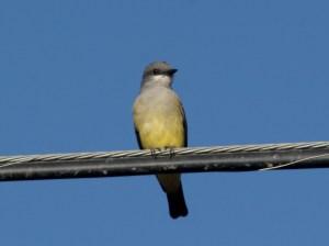 Cassin's Kingbird (2)