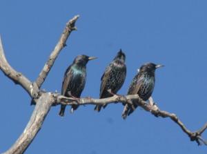European Starling 51