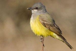 Cassins Kingbird