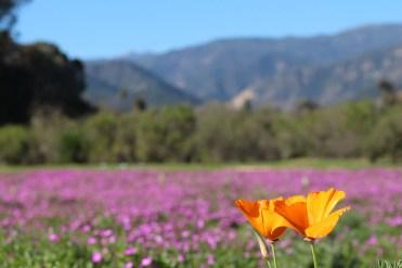 wildflower-walk-poppies