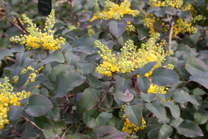 Barberry groundcover