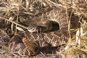 Rattlesnake Avoidance Training for Dogs