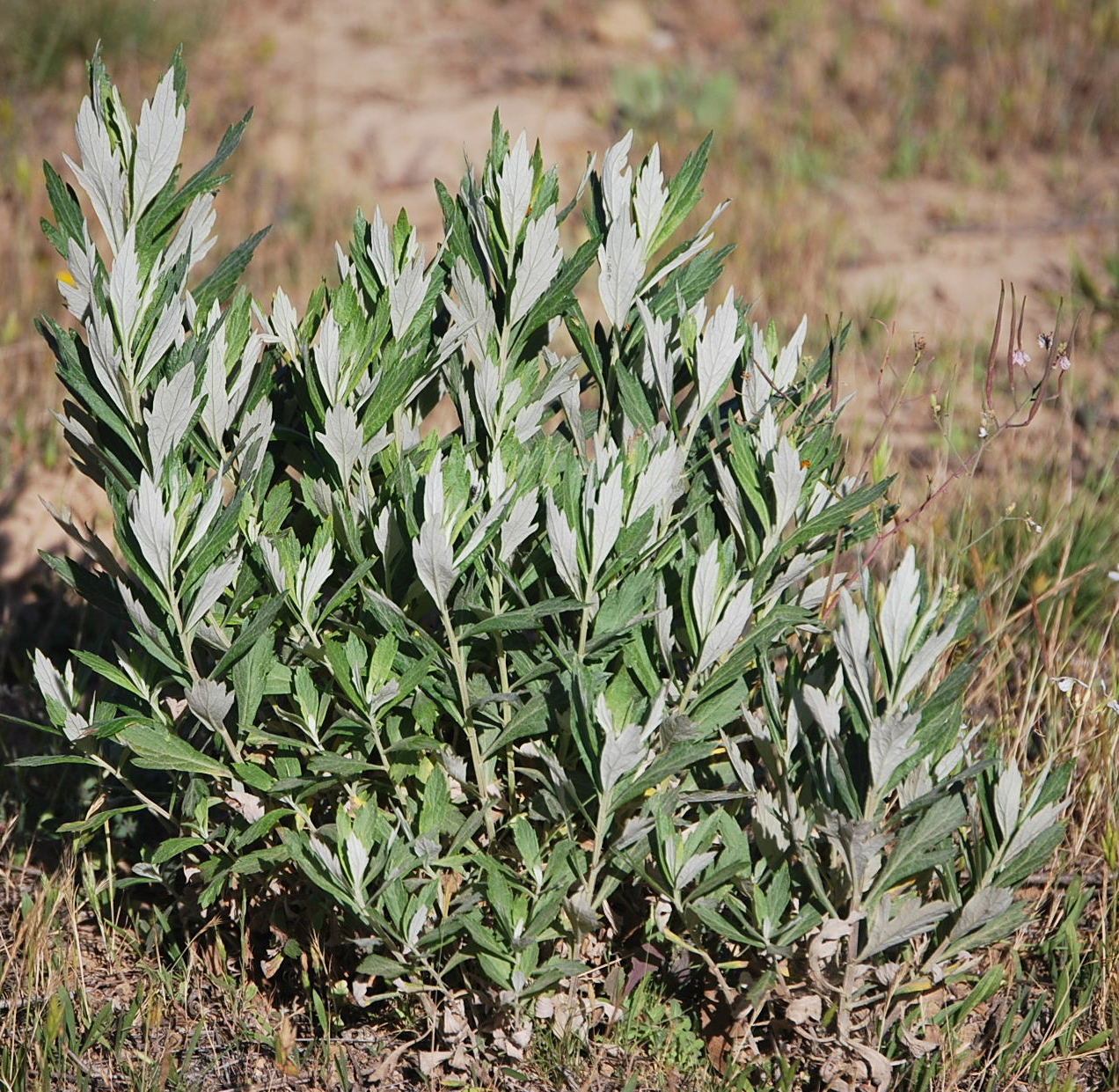 How To Collect Mugwort Seeds for Dummies