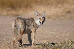 Aggressive Coyotes on OVLC Preserves