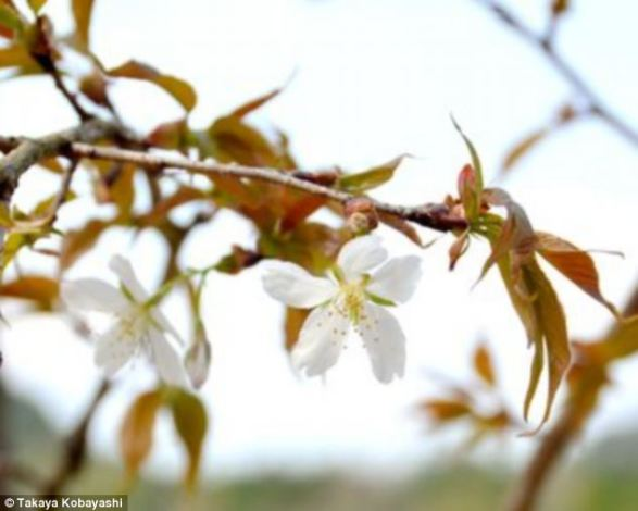 Cerejeira de semente levada ao espaço