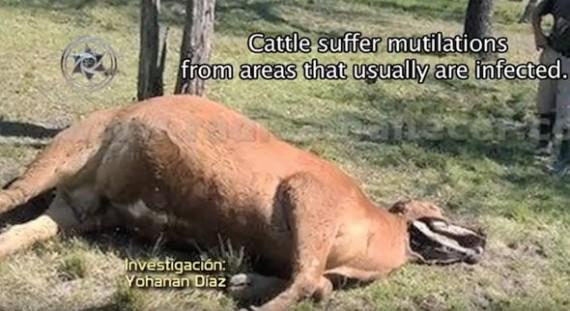Gado sofre mutilações geralmente em áreas com concentração bacteriana
