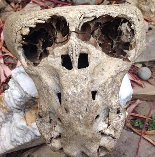 Crânio anômalo sem mandíbula.