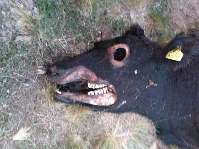 Mutilação de gado na Argentina