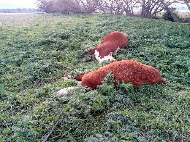 Mais mutilações misteriosas de gado ocorrem na Argentina 3
