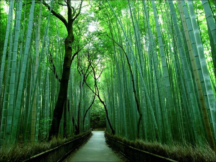 fantastic-bamboo-grove-in-japan-3