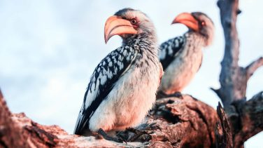 Zimbabwe-Hwange-NP-Yellow-Billed-Hornbills-Hi-Res-IMG_9177-Photo-credit-Will-Whitford-1920x1080