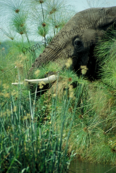 bull_elephant-in-papyrus_murchisons.jpg