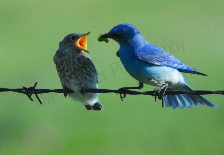 bluebird-feeding-fledgeling.jpg