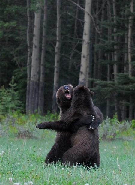 grizzly-bear-brawl.jpg
