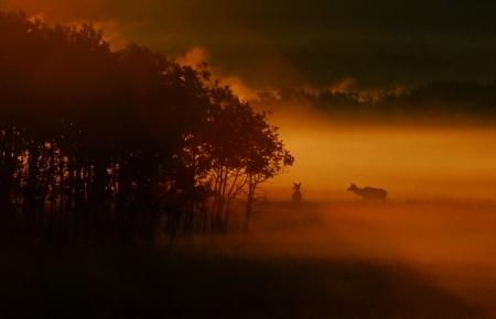 elk-in-fog-at-sunrise
