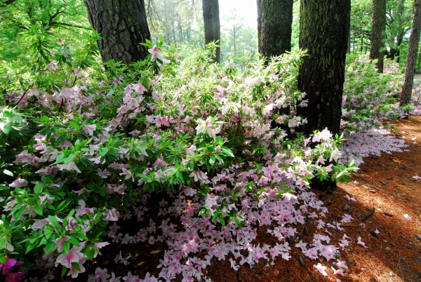 Asalia and lodgepole pine trees
