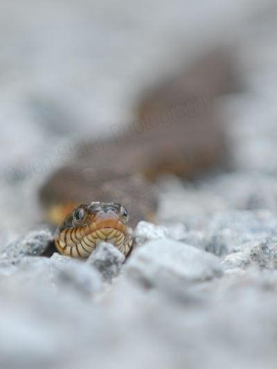 Banded water snake 1