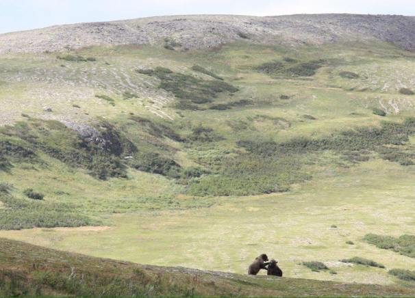 Brown bears wrestle and play on the tundra, Katmai National Park. Photo by Cynthia Beckwith.