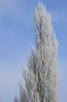 Iced fur tree
