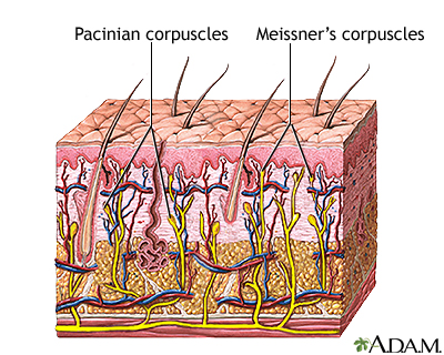 dermis layer diagram fender kurt cobain jaguar wiring skin integumentary system information the hypodermis subcutaneous lies beneath loose connective tissue such as adipose fat insulates body conserving heat
