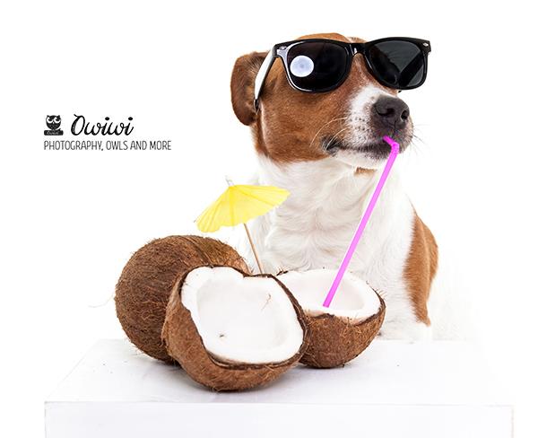 Jack Russell Boris Coconut