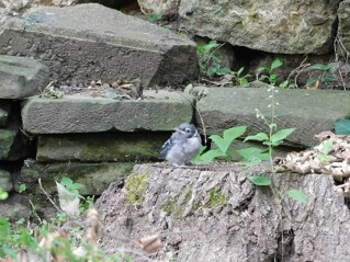 Little Jay on a stump, taunting potential predators.
