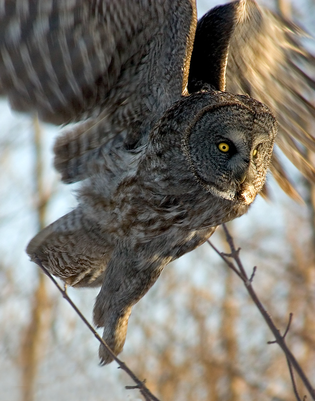 Great Grey Owl  owlkingdom