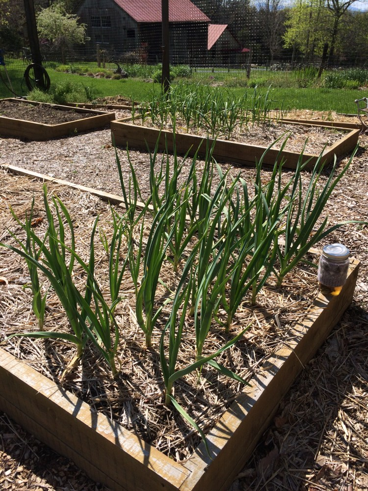 The garlic!