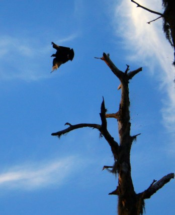 Vader the black vulture flying high and arrow free at Upper Tampa Bay.