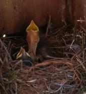 NestlingBluebird