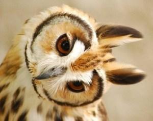 Owlears