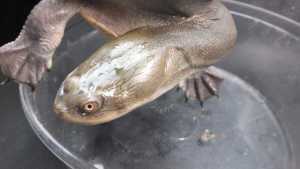 ジーベンロックナガクビガメ ♀