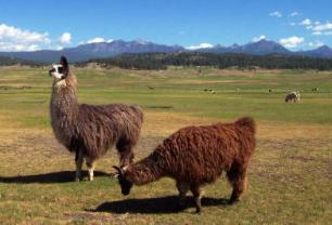 North Pagosa Springs Llamas