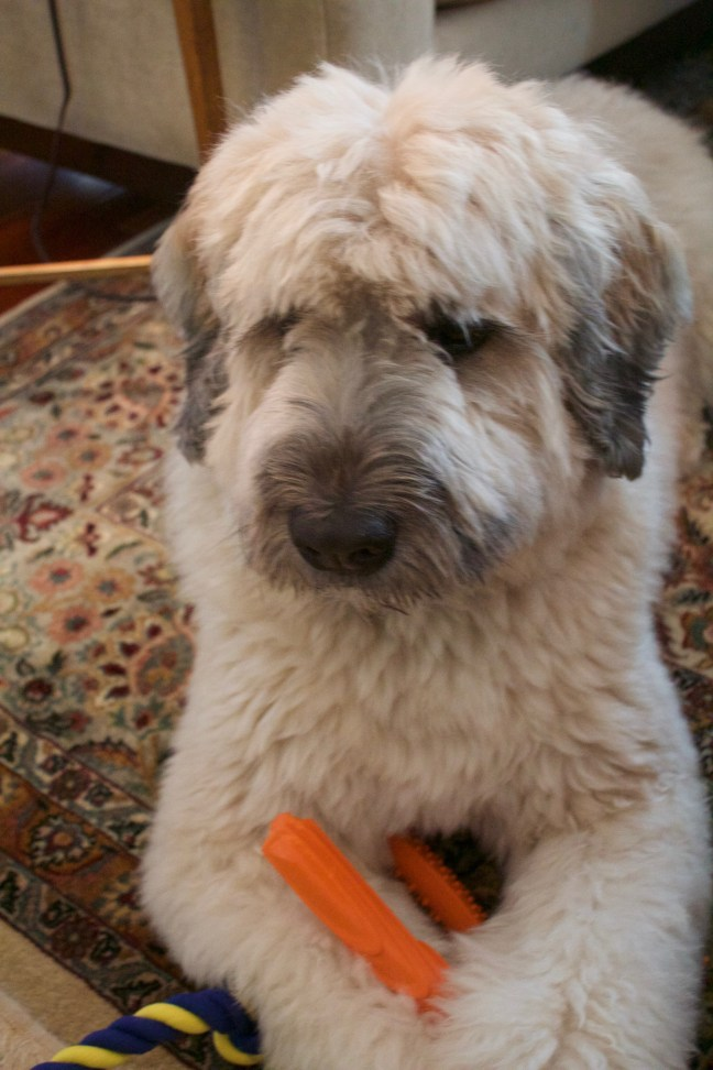 Daisy, the Gifted and Talented Bouvier