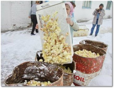Factory farm workers dump male chicks into oil to drown them. Photo courtesy of animals-rights-action.com.