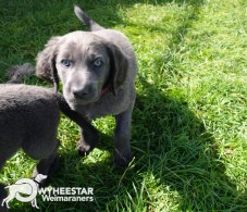 Longhair Web Pup Photos-15
