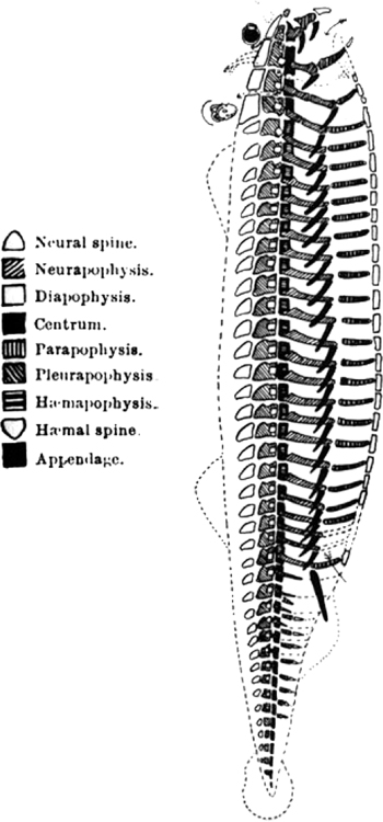 Richard Owen's vertebrate pattern