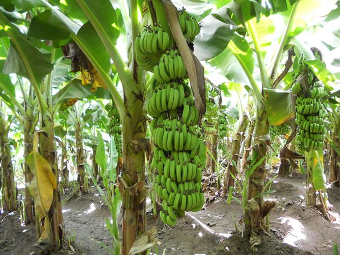 Why Modern Farmers Are Growing Tissue Culture Banana In Kenya Oxfarm