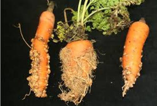 soil deseases