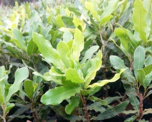 macadamia seedlings